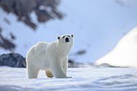 Eisbär in Gletscherlandschaft